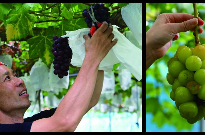 極上のぶどう! 葡萄のふくおかさんにお邪魔してきました!